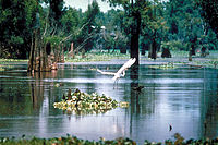 French Acadians, who came to be known as Cajuns, settled the swamps of southern Louisiana, especially in the Atchafalaya Basin.