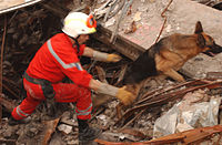 An Urban Search and Rescue Task Force German shepherd dog works to uncover victims at the site of the World Trade Center after the attacks.