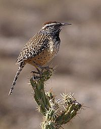 Cactus wren, the Arizona state bird
