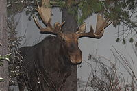 The moose, the state mammal, as displayed at the Maine State Museum in Augusta