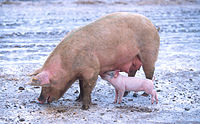 Denmark is a leading producer of pork, and the largest exporter of pork products in the EU.