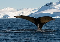 The Southern Ocean Whale Sanctuary is an area of 50 million square kilometres around Antarctica where the International Whaling Commission has banned commercial whaling.