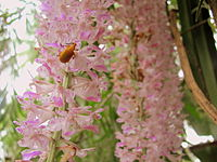 Blooming of Kopou Orchid marks the beginning of the festive season of Bihu in Assam.