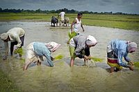 Assamese women busy planting paddy seedlings in their agricultural field in Pahukata village in the Nagaon district of Assam