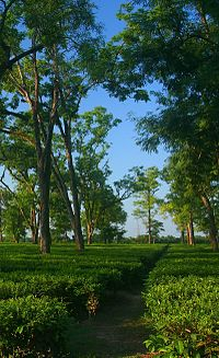 A tea garden in Assam: tea is grown at elevations near sea level, giving it a malty sweetness and an earthy flavor, as opposed to the more floral aroma of highland (e.g. Darjeeling, Taiwanese) teas