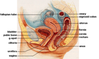 The female reproductive system.