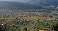 Olive groves in Homs Governorate, western Syria