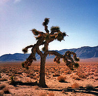"""The tree pictured on The Joshua Tree album sleeve. Adam Clayton said, """"The desert was immensely inspirational to us as a mental image for this record."""""""