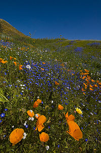 Wildflowers and California poppies in the Alberhill District
