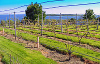 Grapevines growing in Prince Edward County, a wine-growing region