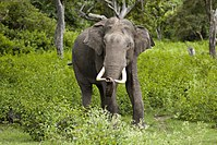 South India has the largest elephant population.