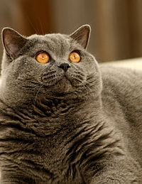 The British Shorthair was an inspiration for the Cheshire Cat in Lewis Carroll's Alice in Wonderland.