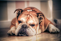 One of Britain's oldest indigenous breeds, the Bulldog is known as the national dog of Great Britain.