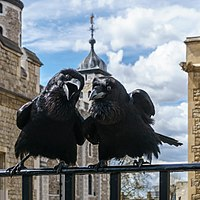 """Two of the current Ravens of the Tower of London. The ravens' presence is traditionally believed to protect the Crown and the tower; a superstition holds that """"if the Tower of London ravens are lost or fly away, the Crown will fall and Britain with it""""."""