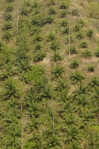 Oil palm in Mamit
