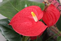 Mizoram produces over 7 million tonnes of Anthurium (shown), supplying the domestic market as well as exporting it to UAE, UK and Japan. The majority of producers and income earners from this business are Mizoram women.