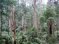 E. regnans trees in Sherbrooke Forest, Victoria