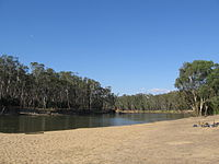 E. camaldulensis, immature woodland trees, showing collective crown habit, Murray River, Tocumwal, New South Wales
