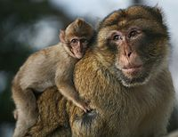 An adult male Barbary macaque carrying his offspring, a behaviour rarely found in other primates.