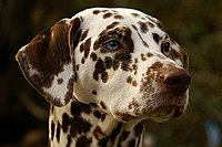 Blue and brown-eyed Dalmatian