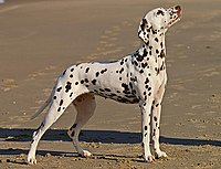 A tricolor Dalmatian female—with tan spotting on the eyebrows, snout, cheeks, neck, chest, and legs.