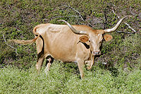 The Longhorn became an important economic resource.