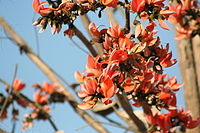 Palash flowers, bright red, pepper the skyline in Jharkhand during fall, also known as forest fire