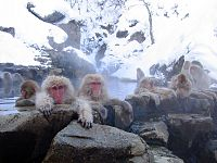 The Japanese macaques at Jigokudani hot spring are notable for visiting the spa in the winter.