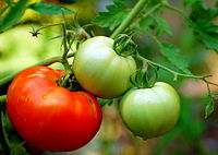 Tomatoes are a typical part of Italian cuisine, but only entered common usage in the late 18th century.
