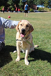 A service dog in-training from the KSU chapter of 4 Paws for Ability