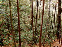 Great laurel thicket in the Pisgah National Forest