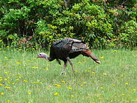 Male eastern wild turkey