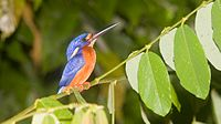 Blue-eared kingfisher in the lower Kinabatangan River area, which is endemic to the island of Borneo. Kingfisher is also once a state bird of Sabah and featured in one of its coat of arms.