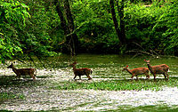 Deer in the Eno River as it flows through the Piedmont region of North Carolina