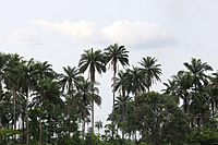 Palm plantation in Delta State