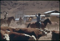 Spring roundup of Paiute-owned cattle begins at Pyramid Lake Indian Reservation, 1973.