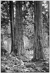 Junipers in Kama valley. Photograph taken by Wollaston.