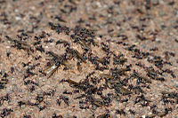 A swarming meat-eater ant colony