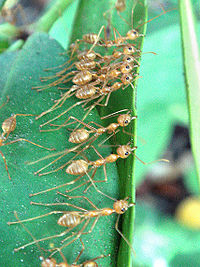 Weaver ants, here collaborating to pull nest leaves together, can be considered eusocial, as they have a permanent division of labour.