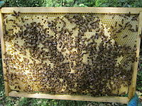 Co-operative brood rearing, seen here in honeybees, is a condition of eusociality.