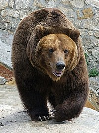 The brown bear is a popular symbol of Russia, particularly in the West.