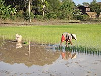 About 80% of the Laotian population practises subsistence agriculture.