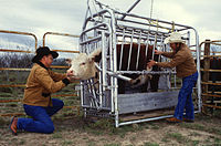 This Hereford is being inspected for ticks. Cattle are often restrained or confined in cattle crushes (squeeze chutes) when given medical attention.