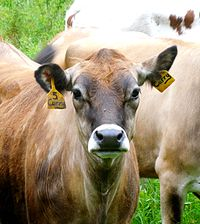 Ear postures of cows are studied as indicators of their emotional state and overall animal welfare.