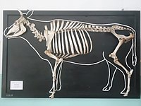Displayed skeleton of a domestic cow