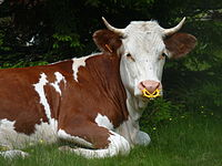 This young bovine has a nose ring to prevent it from suckling, which is usually to assist in weaning.