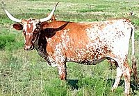 Texas Longhorns are a US breed.