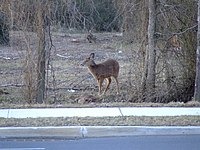 Deer found in Charleston, Staten Island. Deer may be part of 40-large herd in Clay Pit Ponds State Park Preserves.