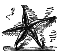 """A starfish with 5 legs. Used as an illustration of """"Hope in God"""", a poem by Lydia Sigourney which appeared in Poems for the Sea, 1850"""