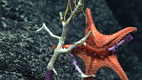 A Circeaster pullus starfish everting its stomach to feed on coral